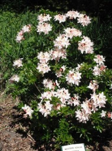Western Azalea