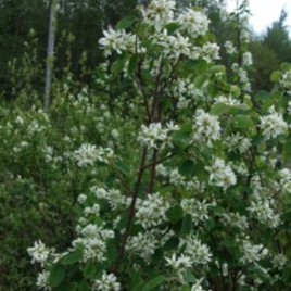 Saskatoon or Serviceberry